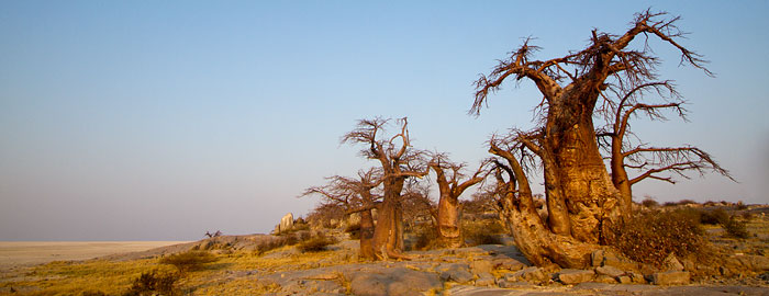 Kubu Island Baobab tree photos